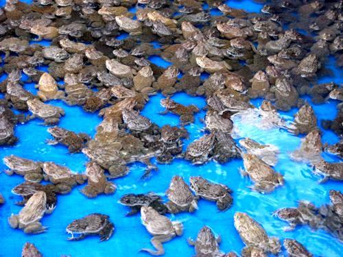 پرورش کروکودیل و قورباغه به قصد صادرات اشکال ندارد