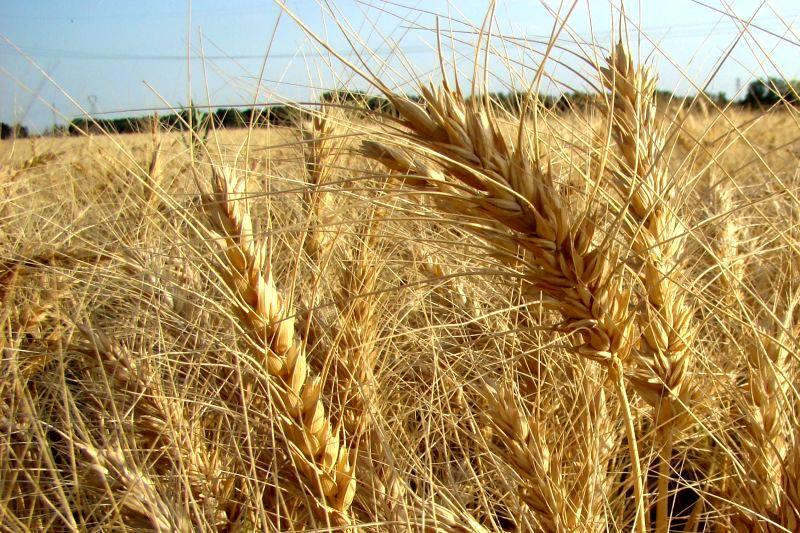 1.8 میلیون تن گندم از کشاورزان خرید تضمینی شد
