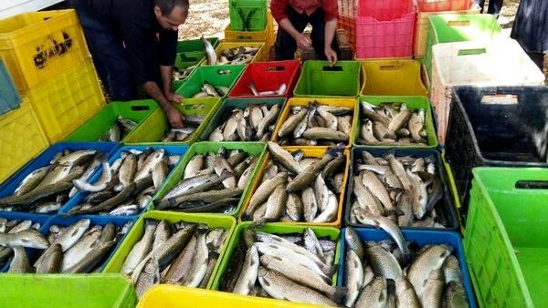 برداشت 10 تن ماهی قزل آلا در شهرستان آباده