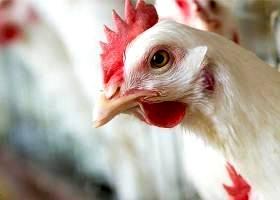 استفاده از هر نوع هورمون در مرغ غیرعلمی، بی تاثیر و غیرقابل اجراست