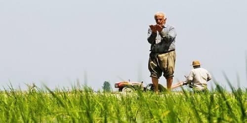 واردات برنج خارجی موجب ناامیدی کشاورزان شد