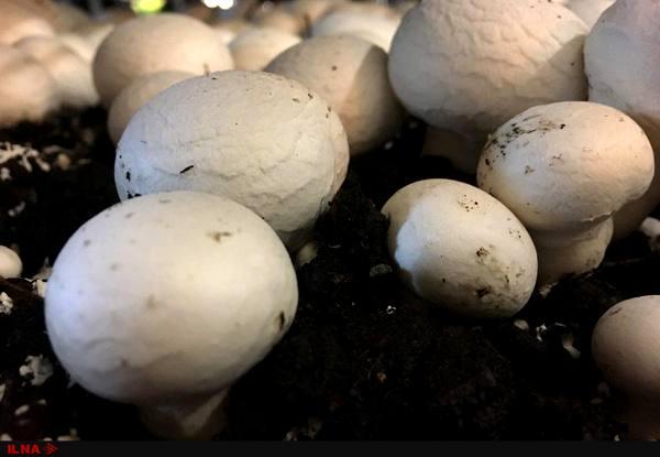 پیش بینی تولید ۱۵۰ هزار تن قارچ خوراکی تا پایان سال جاری
