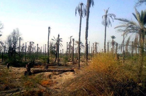 فشار خشکسالی بر نخلهای خوزستان/ شوره زار  شادگان از صید ماهی تا کساد کشاورزی