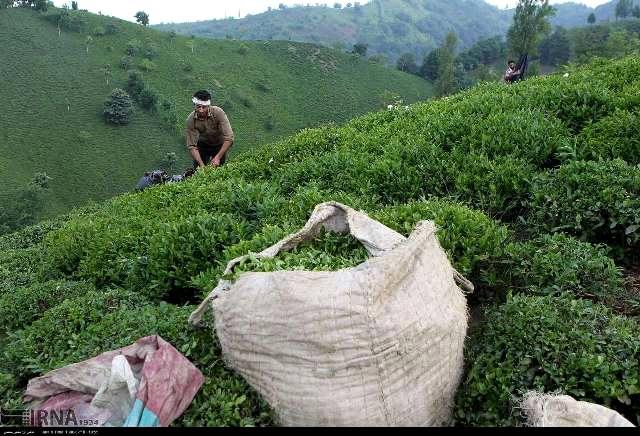 پرداخت تسهیلات 20 میلیارد تومانی بدون بهره به چایکاران و کارخانه های چایسازی