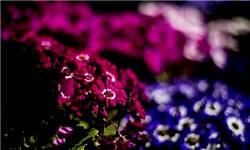 صادرات 35 میلیون دلاری گل و گیاه ایران/ فرهنگ مصرف گل سبب نوسان شدید قیمتها میشود