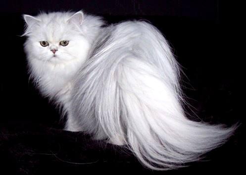 گربه پرشین در پیج و خم ثبت جهانی برای صادرات/ تاجر  ایتالیایی گربه ایرانی را از خراسان به اروپا برد