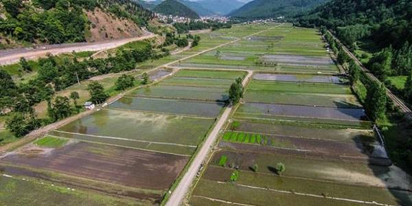 سیاستهای محدودیتزا در زمینه کشت برنج متناسب با شرایط تغییر کند