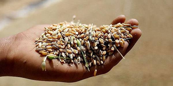 امکان تامین تمام نیاز کشور به گندم از تولید داخل وجود دارد